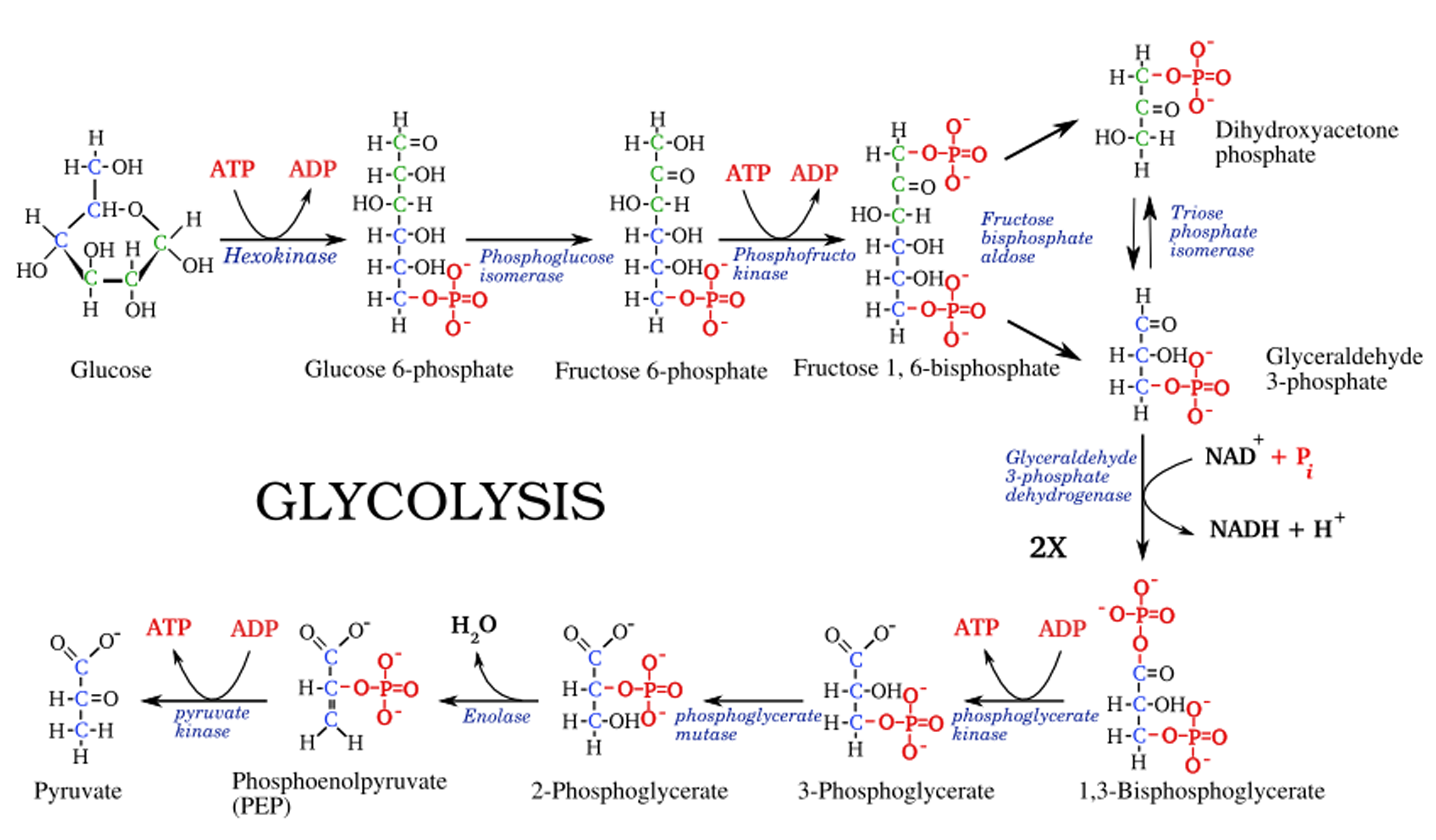 http://www.cscsquestions.com/wp-content/uploads/2015/01/Glycolysis1.png