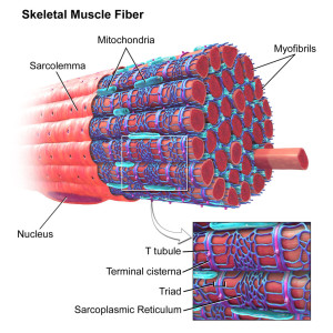 Skeletal Muscle Fiber