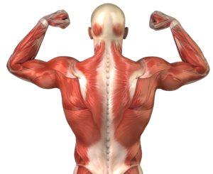 muscle fibers back