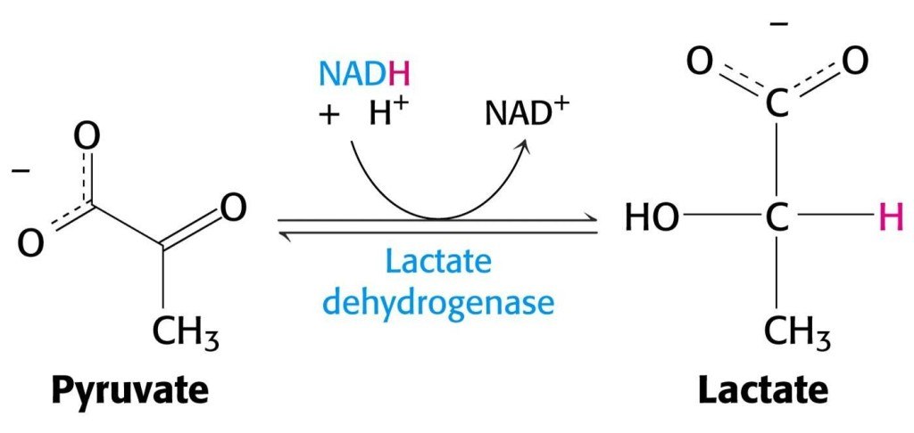 pyruvate reduced to lactate