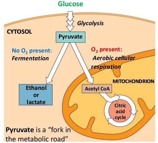 glycolysis location