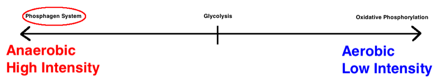 phosphagen glycolysis oxidative